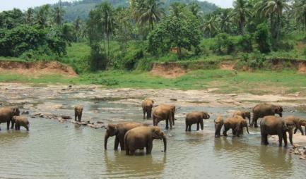 elephants-sri